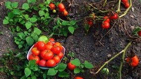 En bunke med tomater Royaltyfri Fotografi