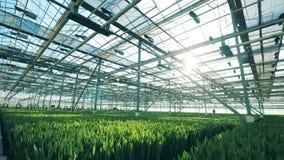 En burk med massor av tulpan som växer i jordning stock video