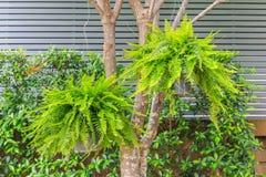 En Bush av Fern Dryopteris filix-mas som hänger på ett träd i garen Fotografering för Bildbyråer