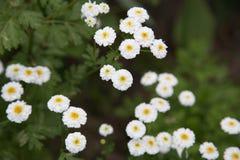 En Bush av vita blommor Arkivfoton