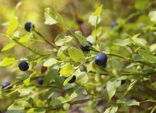 En buske av blåbär i skogen Royaltyfria Foton