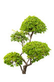 En buske av dekorativa växter av bougainvilleor som isoleras över whit Royaltyfria Bilder