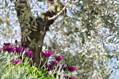 En buske av den Dimorphoteca f?r afrikansk tusensk?na pluvialisen royaltyfri fotografi