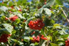En buske av den röda viburnumen Arkivfoton