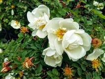 En buske av en dogrose royaltyfri bild