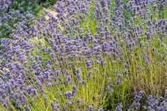 En buske av färgrika lavendelstammar i elegant sammansättning royaltyfri foto
