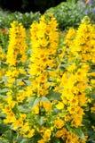 En buske av gula Paparveraceae - papaveren Orientale blommar Arkivfoton