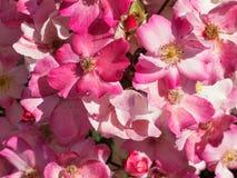 En buske av jätte- rosa rosor royaltyfria bilder