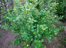 En buske av krusbäret i vårträdgård arkivbild