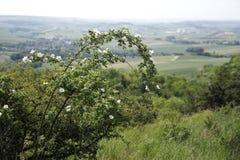 En buske av lösa rosor i kullelandet av lägre Österrike royaltyfri foto