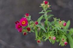 en buske av röda krysantemum royaltyfria bilder