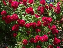 En buske av röda rosor blommar i trädgården Royaltyfri Foto