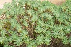 En buske av spurgeväxthuset fotografering för bildbyråer