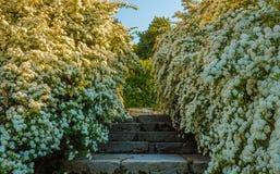 En buske av vita spireablommor arkivfoto