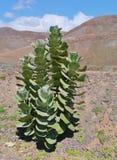 En buske i öknen av Fuerteventura royaltyfria bilder