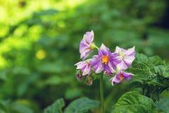 En buske med de ljusa lila blommorna av potatisen på en grön bakgrund i en solig dag Fotografering för Bildbyråer