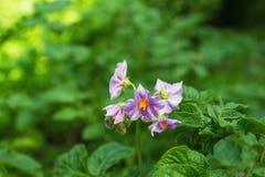 En buske med de ljusa lila blommorna av potatisen på en grön bakgrund i en solig dag Royaltyfri Fotografi