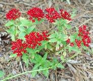 En buske med röda blommor arkivfoto