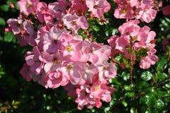 En buske mycket av rosa blomningar royaltyfri foto