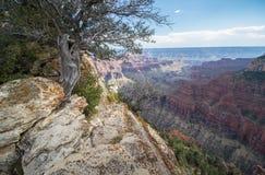 En buske växer nära kanten av den norr kanten av Grand Canyon Royaltyfri Bild