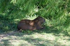 En Capybara, den största bosatta gnagaren för världs` s, sitter i skuggan nära Punta Del Este, Uruguay Royaltyfri Bild