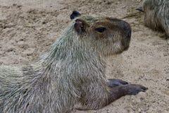 En capybara som världens största gnagare i en safari parkerar royaltyfri foto