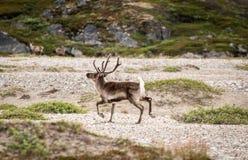 En caribu med horn på kronhjort som går på en stenig landescape på Grönland i en rolig väg arkivbild