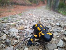 En Carpathian salamander i höstskogen arkivfoton