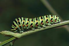 Papilio machaon Arkivbild