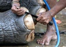 En ceremoniell elefant har dess spikar manicured av dess mahout royaltyfria bilder
