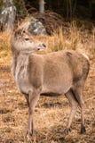 En Cervuselaphus för röda hjortar i Glencoe Skottland royaltyfri fotografi