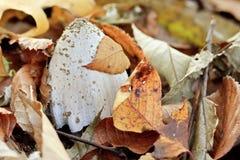 En champinjon i en fallen lövverk Royaltyfri Foto