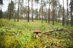 En champinjon i skogen Royaltyfria Foton