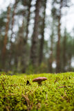 En champinjon i skogen Arkivbilder