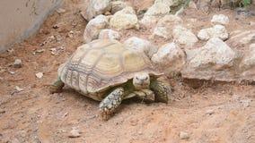 En Chelonoidis för den jätte- sköldpaddan nigra går över öknen och uppvisning långsamt av av dess stora skal stock video