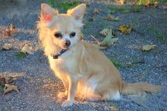En Chihuahuahund i en parkera Arkivfoto