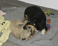 En Chihuahuavalp och en äldre hund som spelar Kissy Face fotografering för bildbyråer
