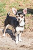 En chihuahuavuxen människahund royaltyfria foton