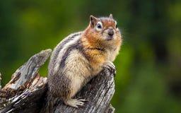 En Chubby Chipmunk Royaltyfri Foto