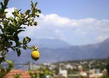 En citron på trädet Fotografering för Bildbyråer