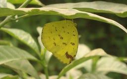 En citronfjäril arkivfoton