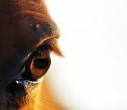 En close upp sikt av kastanjebruna hästar eye & snärtar Royaltyfri Bild