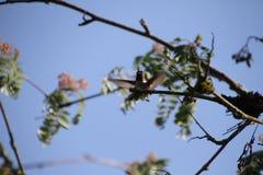 En closeup av en Anna' s-kolibri arkivbilder