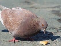 En closeup av enöga duva som äter brödsmulor i gatan Royaltyfri Foto