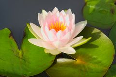 En closeup av ett älskvärt mjukt, ljus - rosa lotusblomma, med den gula mitten som svävar bland dess gränsa till varandra sidor royaltyfria bilder