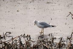 En closeup av en seagull som ser in i vattnet för mat arkivbild