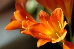 En closeup av sunlit Kafir Lillies Royaltyfri Fotografi