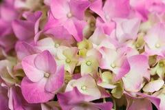 Vanlig hortensia Fotografering för Bildbyråer