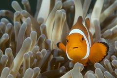 En clownfisk som ser dig Arkivbilder