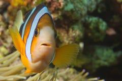 En clownfisk som ser dig i Cebu Filippinerna Royaltyfri Bild